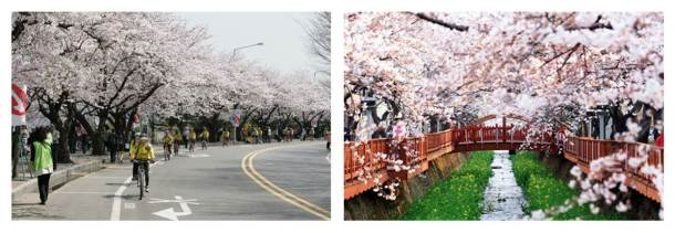 벚꽃(네이버 이미지 검색)